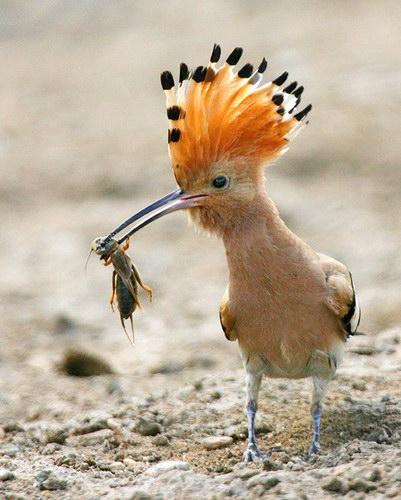Добыча жар-птицы сопряжена с большими трудностями.