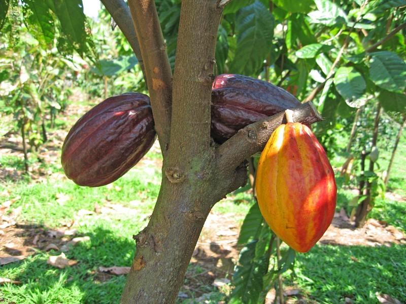 Страна какао