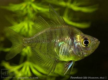 Прозрачная рыба