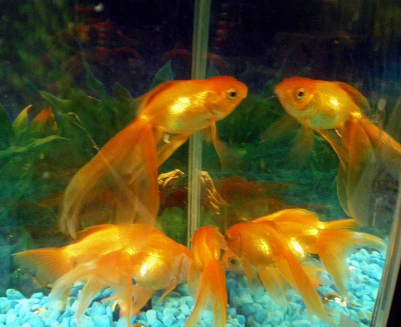 Почему рыбы любят зеркало