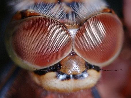 Необычные глаза стрекозы
