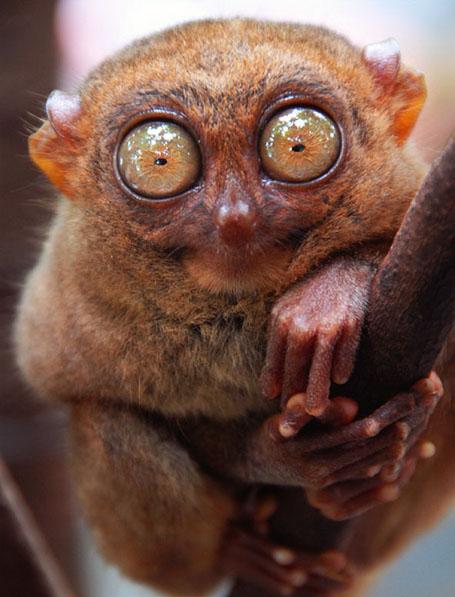 Необычные глаза животных - долгопят