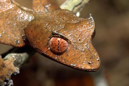 необычные глаза животных - геккон